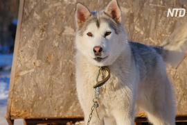 В Самарской области разводят новую породу собак – святорусский вой