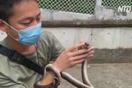 Молодой змеелов в Гонконге сохраняет жизнь пойманным рептилиям