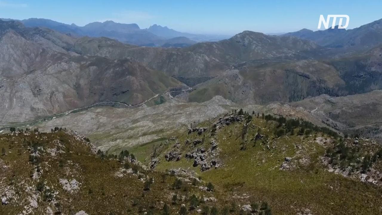 В ЮАР вырубают инвазивные сосны, отбирающие воду у Кейптауна