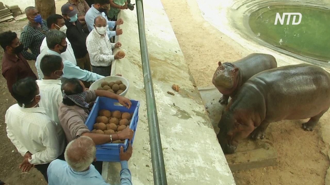 В индийском зоопарке празднуют второй день рождения бегемота