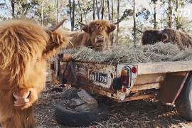 Шотландские коровы сбрасывают шерсть в условиях австралийского лета