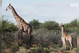 В Африке нашли двух карликовых жирафов