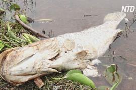 Загадочная гибель рыбы в Уганде: умирает только нильский окунь