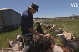 В Австралии опытные фермеры учат новичков разводить скот