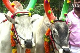 Индийцы отметили праздник, посвящённый богу Солнца