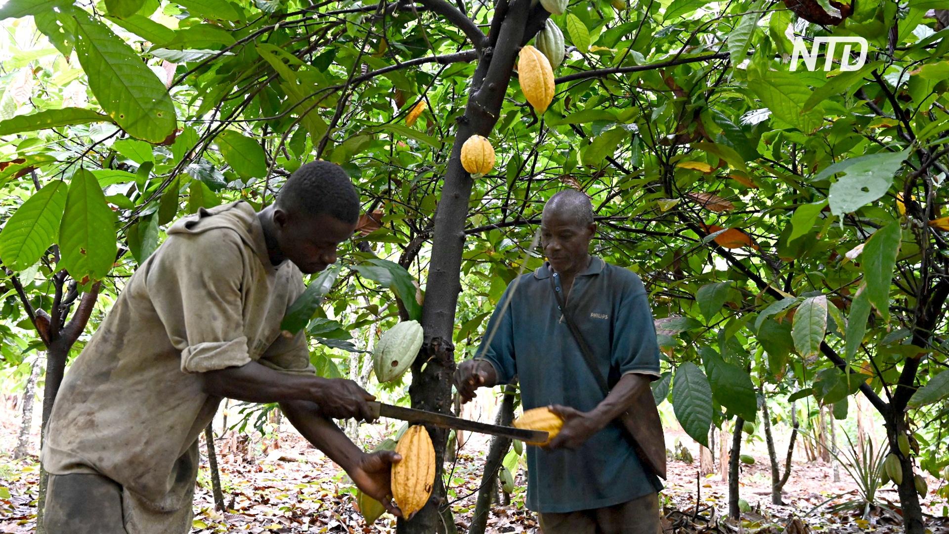 На Западе стали есть меньше шоколада, африканцы боятся кризиса