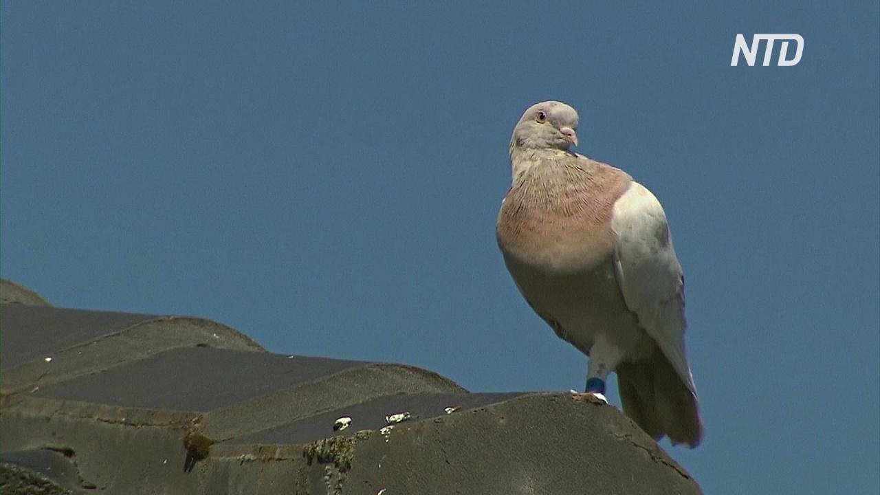 Спасти голубя Джо: как птица пролетела 13 тыс. километров из США в Австралию