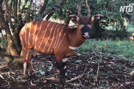 В кенийском заповеднике вывели более 70 исчезающих лесных антилоп бонго