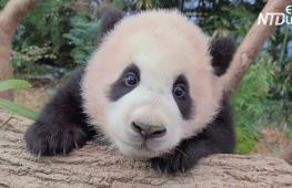 Не могу отпустить: видео с детёнышем панды и смотрителем набрало 4 млн просмотров