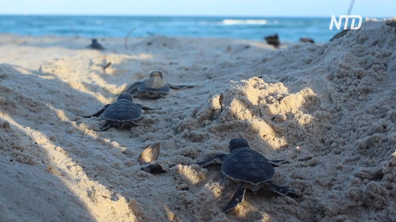 Почему на южном побережье Кении стало вылупляться больше черепах