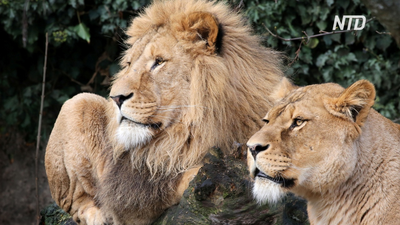 Амстердамский зоопарк из-за нехватки денег отказывается от львов