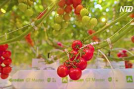 На высокотехнологичной экоферме в США собирают первый урожай