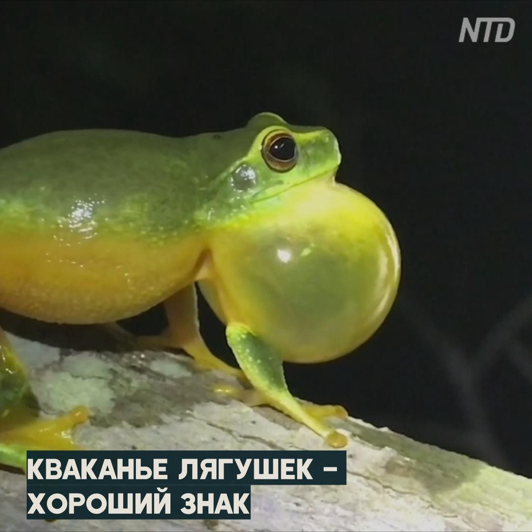 Австралийские лягушки быстро восстанавливаются после пожаров