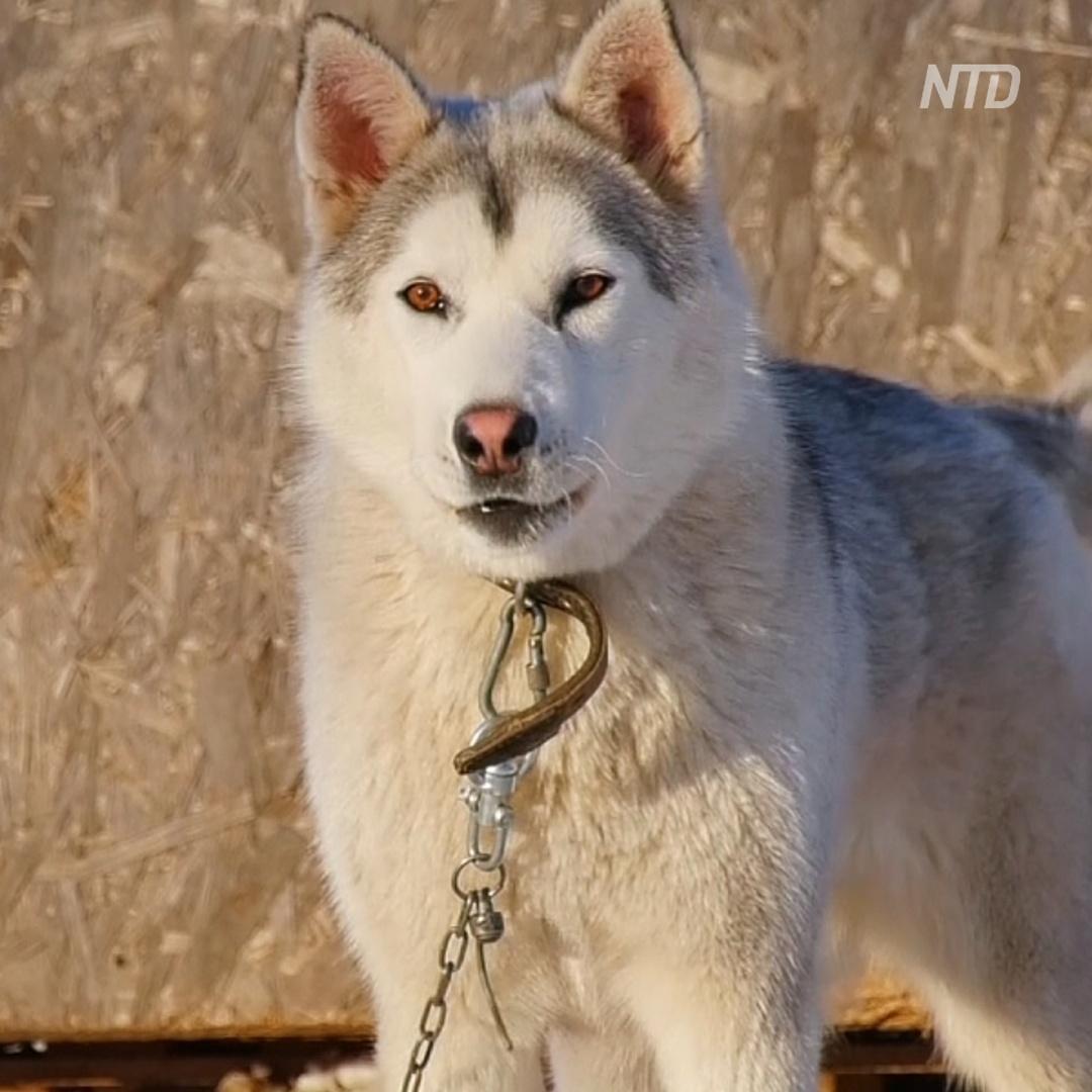 В Самарской области разводят богатырскую породу собак
