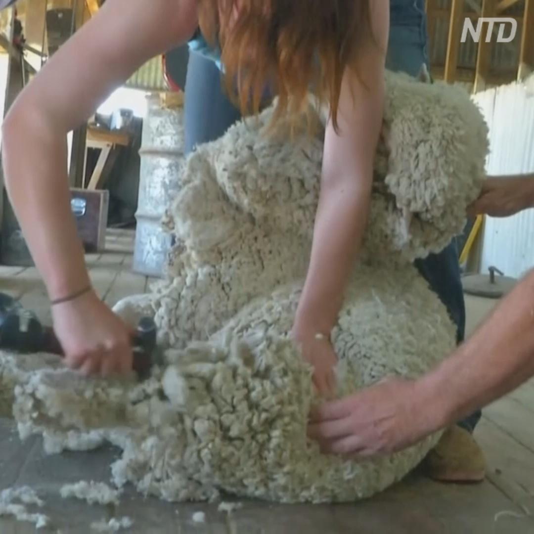 Стричь овец в Австралии начинает всё больше женщин