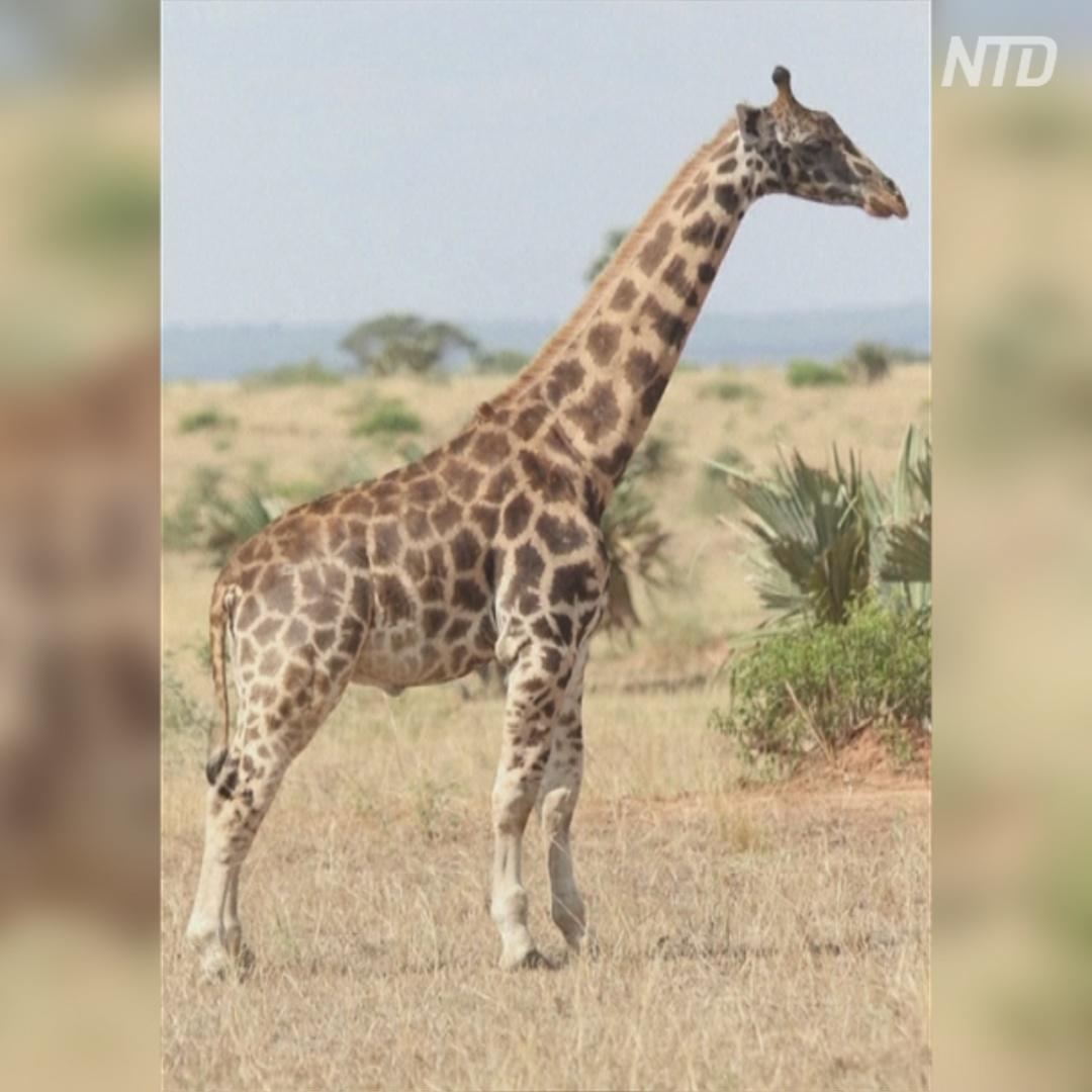 Учёные обнаружили в Африке двух карликовых жирафов