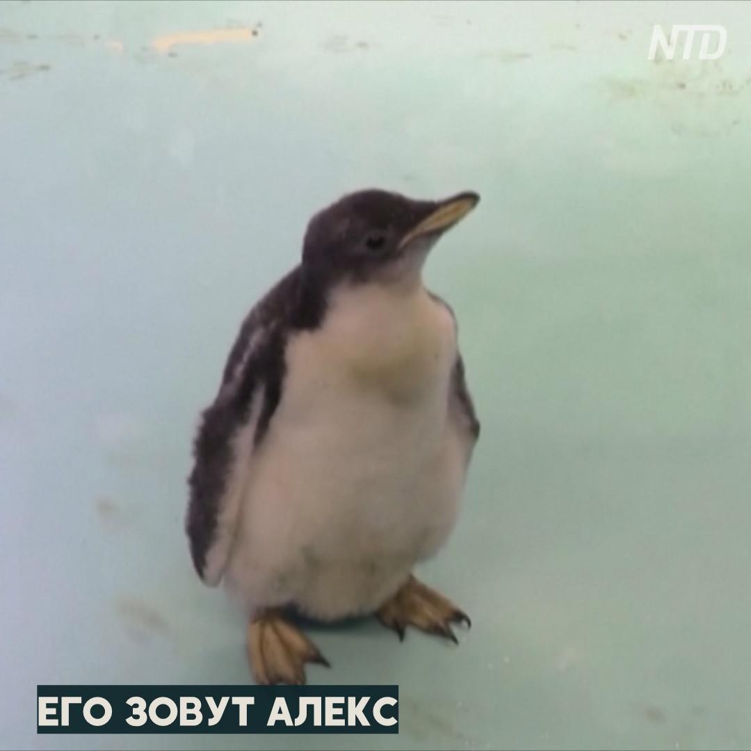 В Мехико вывели первого в неволе субантарктического пингвина