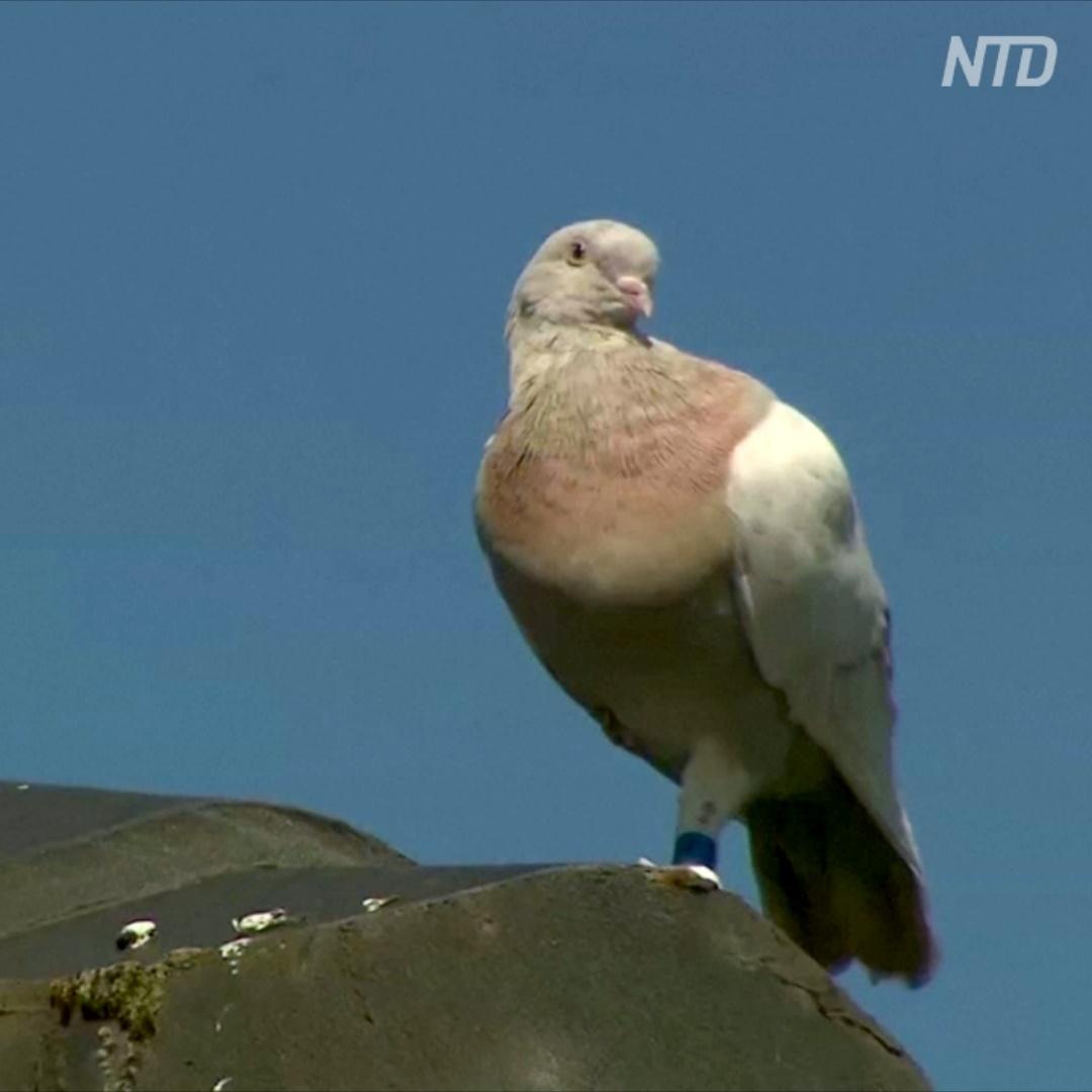 13 тыс. км из США в Австралию: спасут ли голубя Джо