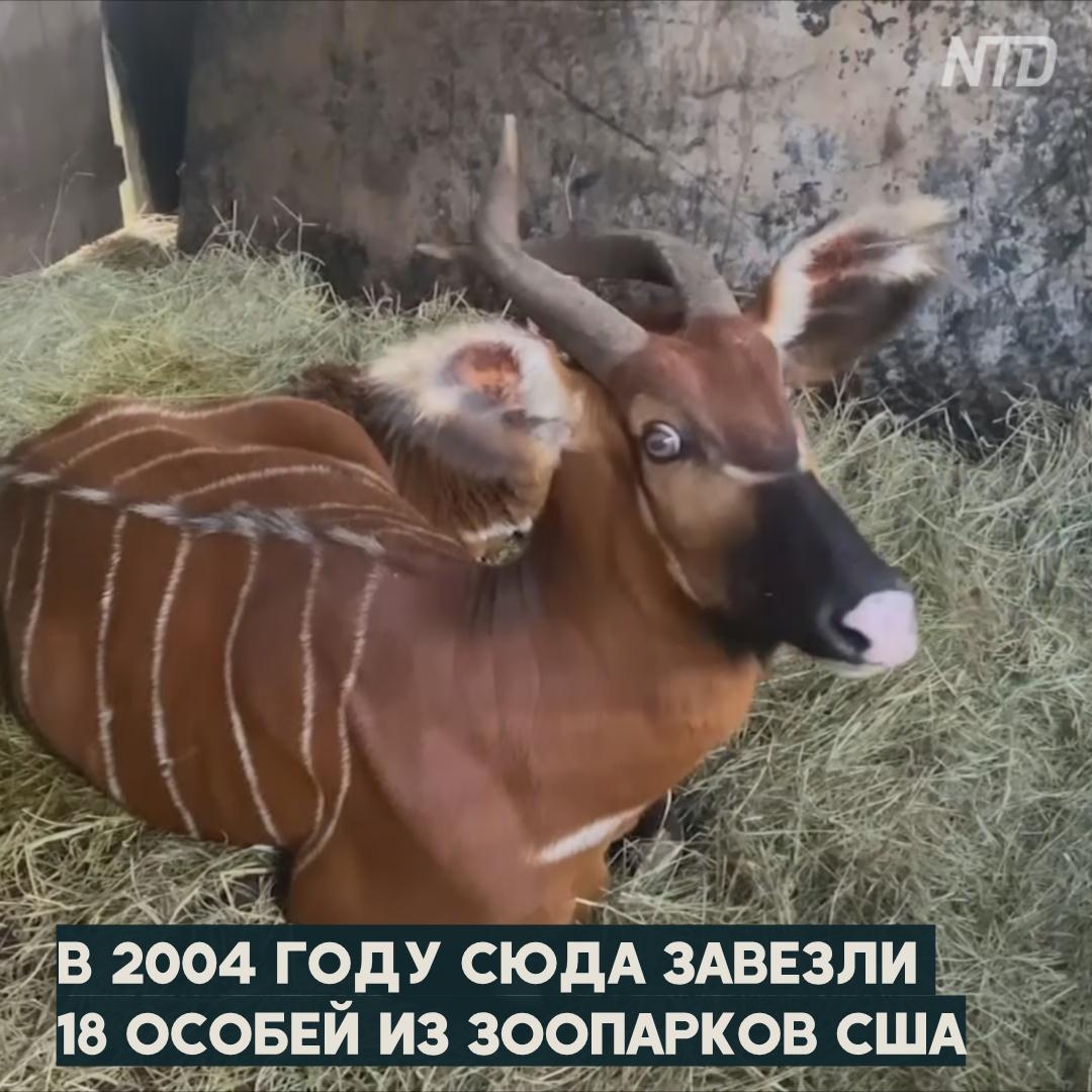 Как в Кении выводят редких лесных антилоп бонго