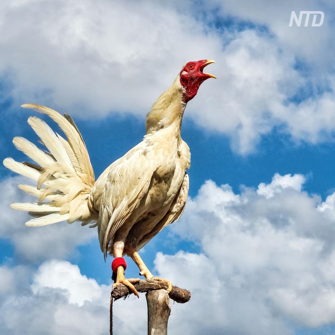 Петухи и утки Франции теперь могут кукарекать и крякать, не опасаясь суда