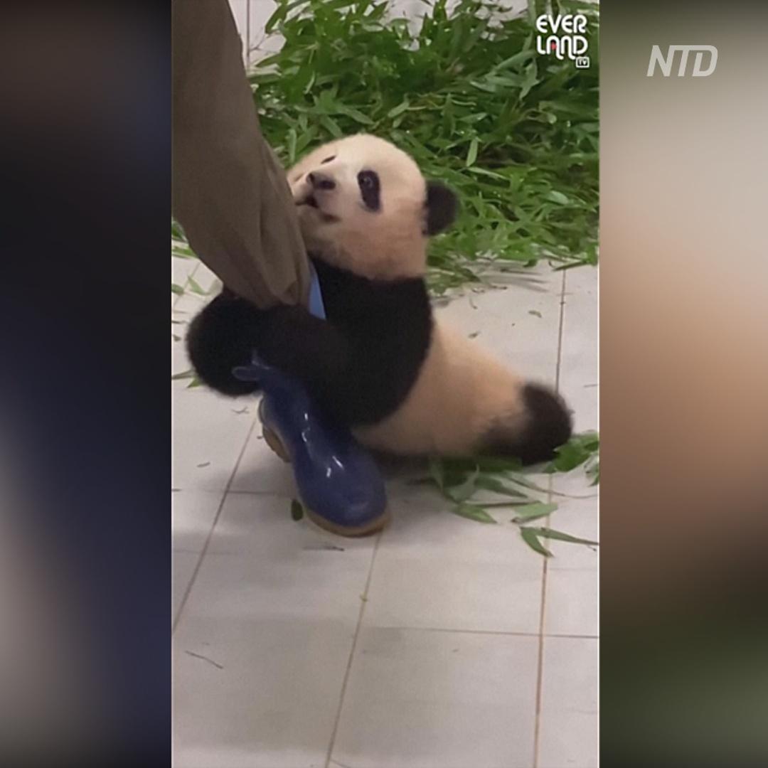 Видео с детёнышем панды, не отпускающим смотрителя, стало вирусным
