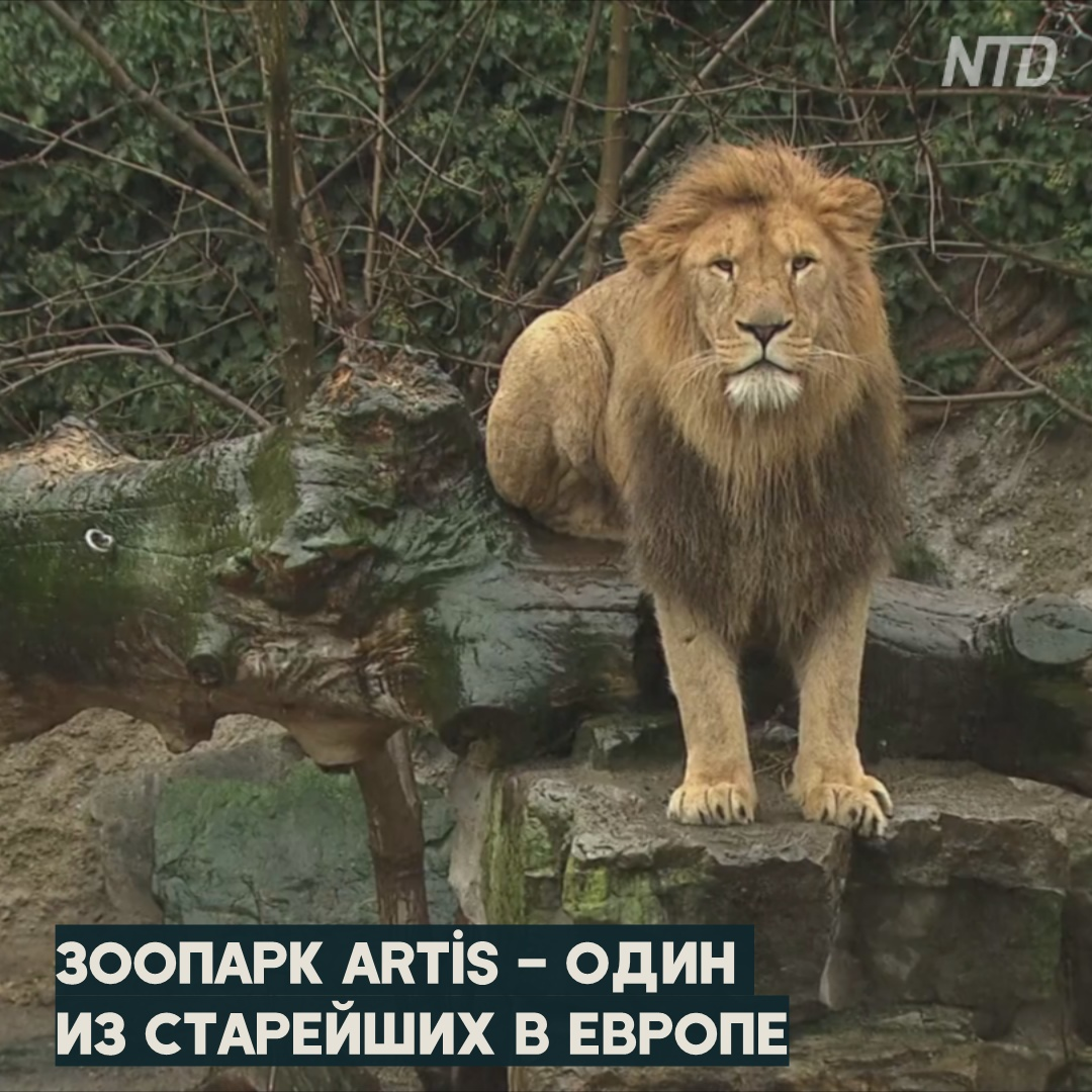 Амстердамский зоопарк из-за нехватки денег отдаёт львов Франции