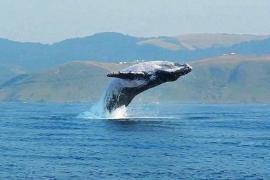 Прыжок 40-тонного кита над водой сняли на видео