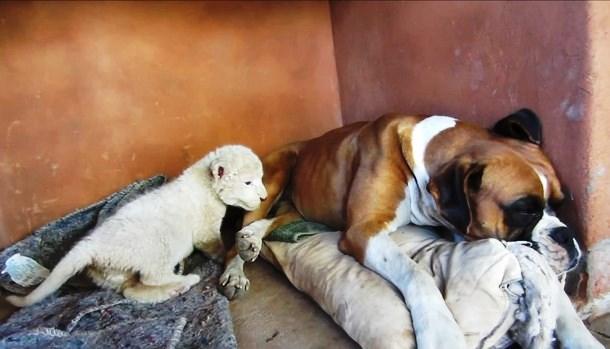 Novyj risunok 11 - Белый львёнок подружился с собаками
