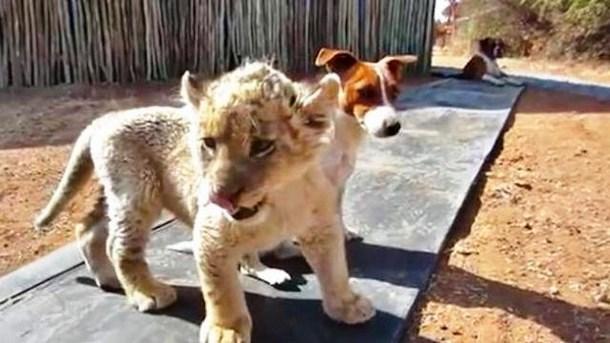 Novyj risunok 2 5 - Белый львёнок подружился с собаками