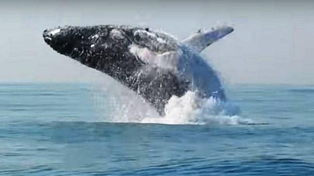 Novyj risunok 2 8 - Прыжок 40-тонного кита над водой сняли на видео