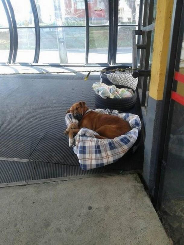 Novyj risunok 3 15 - Бразилия: зачем бездомным собакам открыли двери автовокзала