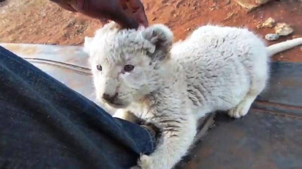 Novyj risunok 5 2 - Белый львёнок подружился с собаками