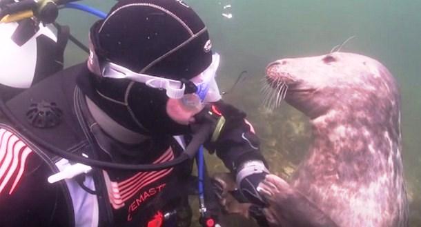 Как повёл себя тюлень при встрече с дайвером