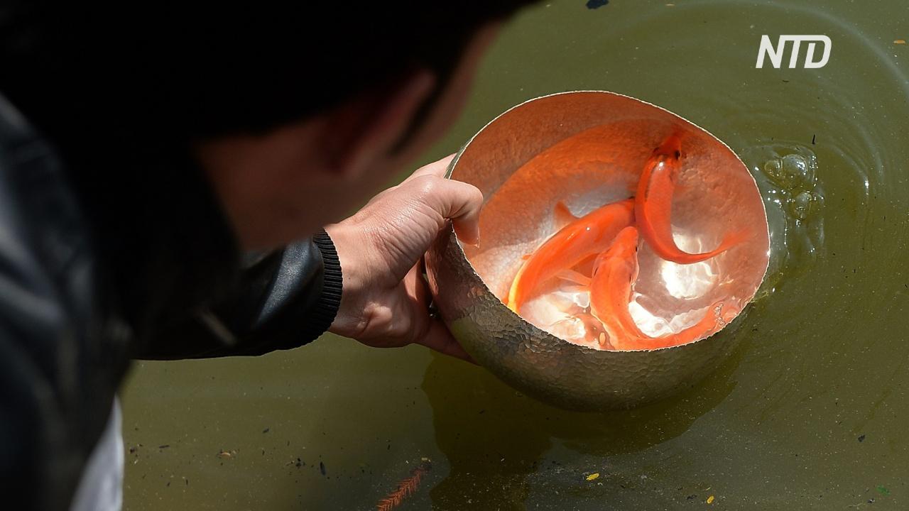Зачем вьетнамцы перед Новым годом выпускают в озёра карпов