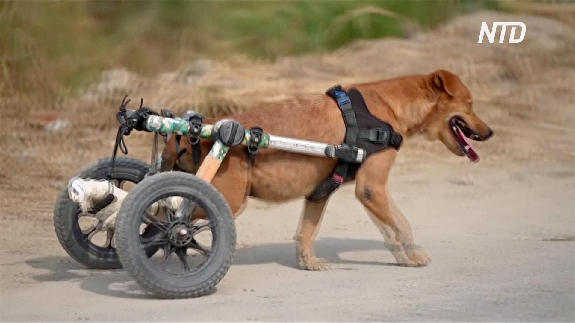 В Таиланде собаки-инвалиды бегают с помощью колясок