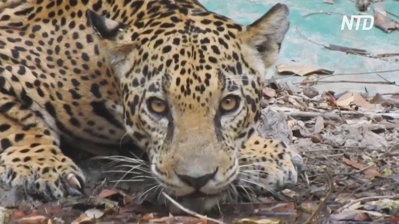 Фотоловушки в гватемальских джунглях засняли жизнь ягуаров