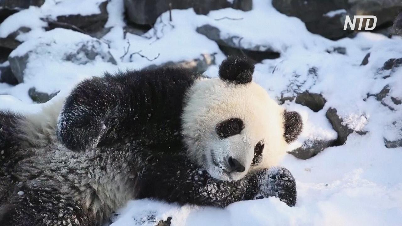 Панды-близнецы в бельгийском зоопарке впервые играют на снегу