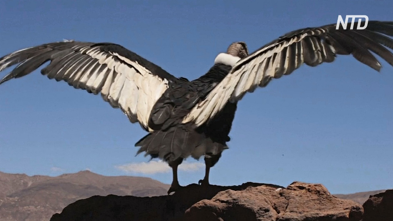 В Боливии по неизвестным причинам погибли 35 андских кондоров