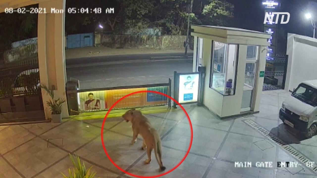 В Индии любопытная львица прогулялась по территории отеля