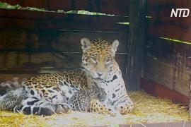 В Аргентине самка ягуара, живущая в неволе, принесла детёнышей от дикого самца