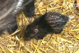 В бельгийском зоопарке впервые за 25 лет родились дикобразы