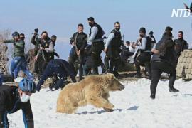 В Ираке выпустили в дикую природу спасённых редких медведей