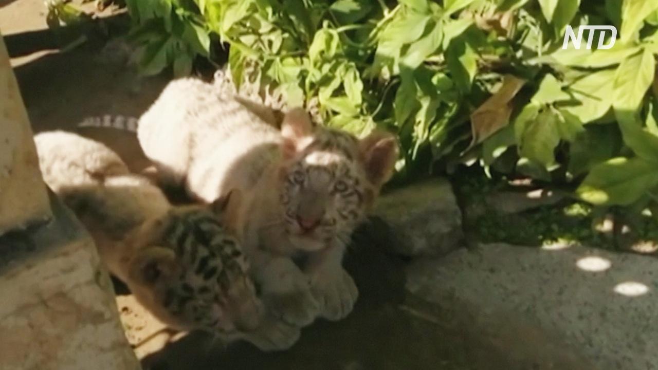 Тигрята в пакистанском зоопарке, вероятно, умерли от коронавируса