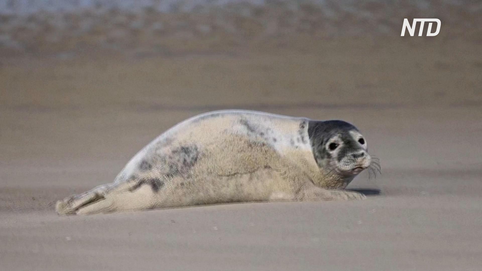 Тюлени возвращаются на северное побережье Франции
