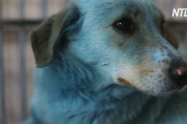 Собак с синей шерстью обследовали в ветклинике в Нижнем Новгороде