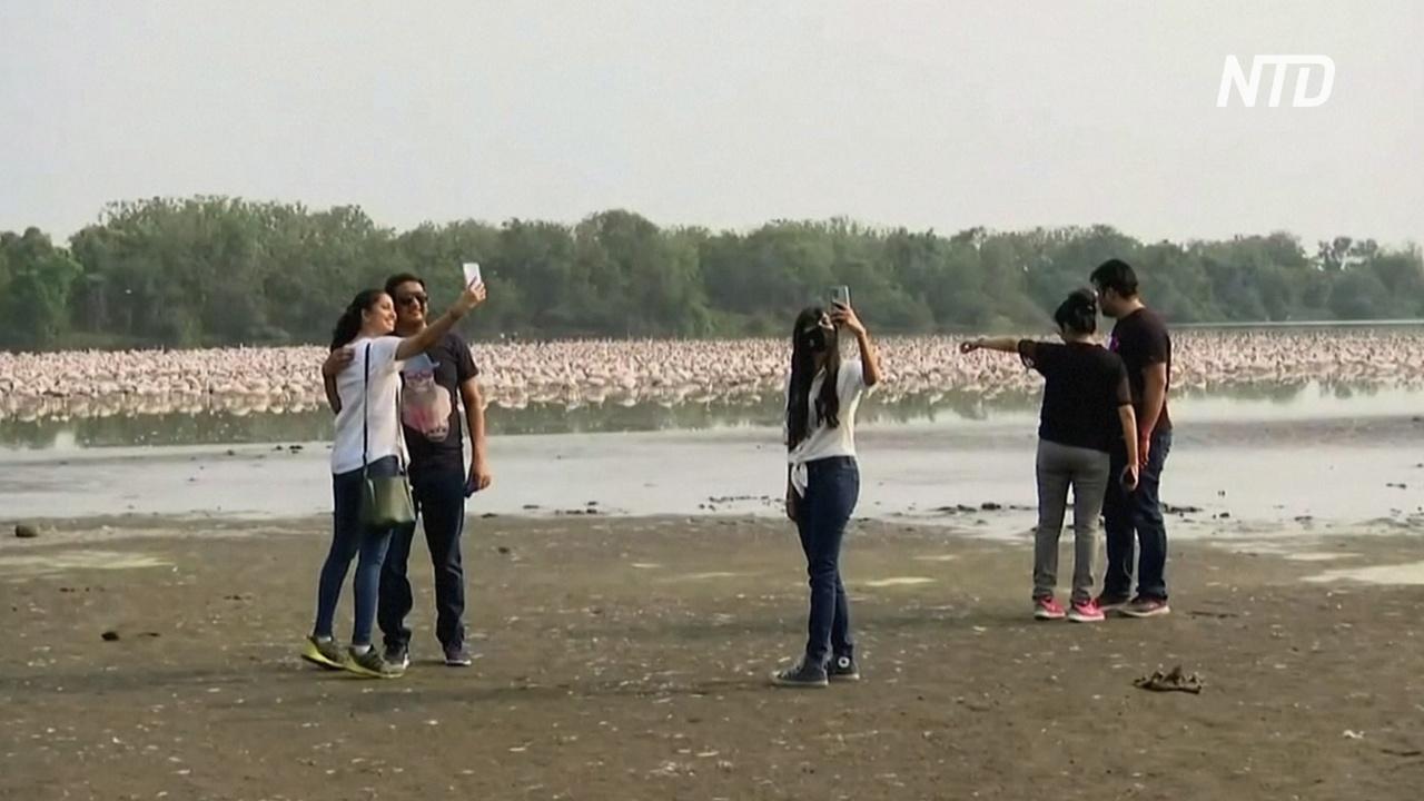 Колонии розовых фламинго привлекают любителей природы в Индии