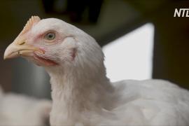 В России выявили первый в мире случай заражения человека птичьим гриппом А(H5N8)