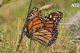 В знаменитый заповедник бабочек в Мексике вернулись насекомые, но не туристы