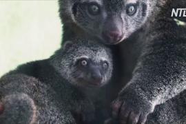 У редких медвежьих кускусов во Вроцлавском зоопарке родился детёныш