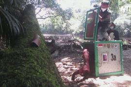 На Калимантане выпустили в дикую природу 10 спасённых орангутанов
